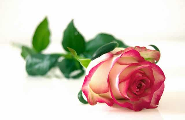 Happy Rose Day Status for Whatsapp in English[2020]